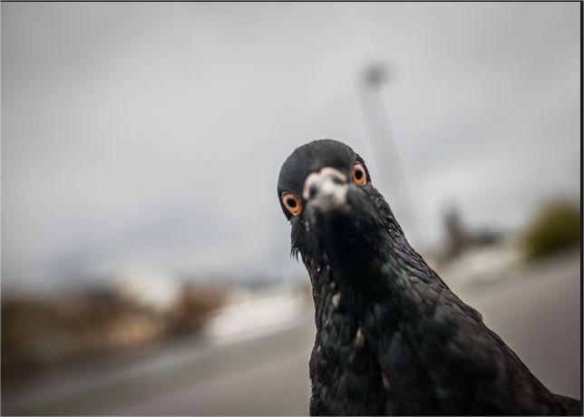 5ca79c36ef13d_pigeon-RechercheGoogle-MozillaFirefox.jpg.8adf662b68f9fd9091052df1c81ab97e.jpg